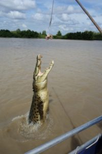 Jumping crocodile in action