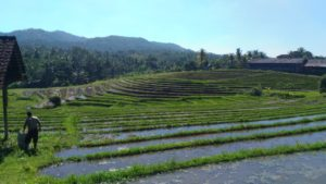 Bali is full with ricefields